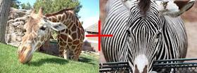 News Okapi Hasil Persilangan Jerapah Dan Zebra - Perkawinan Zebra, Chimera Dan 18 Hewan Kawin Silang Beda Spesies Yang Berhasil Halaman 2