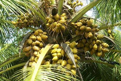 EDAKKALATHUR VILLAGE: coconut tree