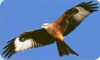 Welsh red kite trust