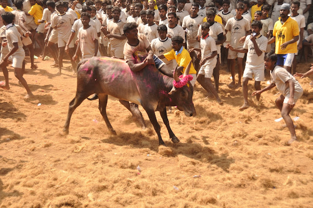 jallikattu photos