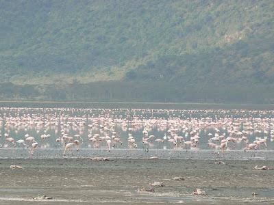 Flamingo pe lacul Nakuru, Kenya