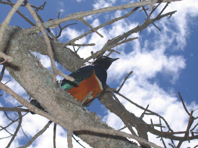 Safari Serengeti: pasari colorate