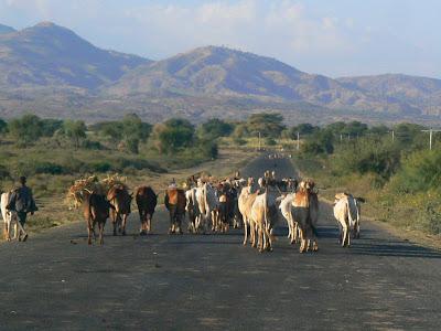 Imagini Etiopia: vaci pe soselele Etiopiei