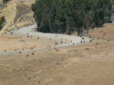 Imagini Etiopia: Muntii Simien babuini gelada