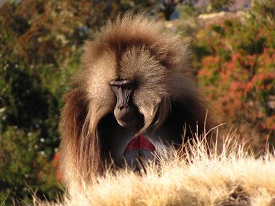 Fauna Etiopia: babuinii gelada in Muntii Simien Etiopia
