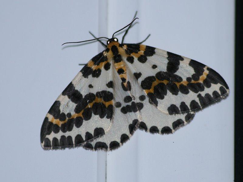 [Magpie_moth_Garden_020808.jpg]