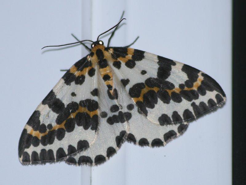 [Magpie_moth_Garden_020808_2.jpg]