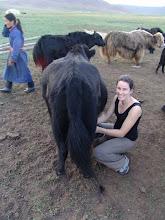 milking a yak-mongolia