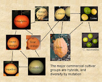 citrus breeding