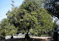 parent navel orange tree