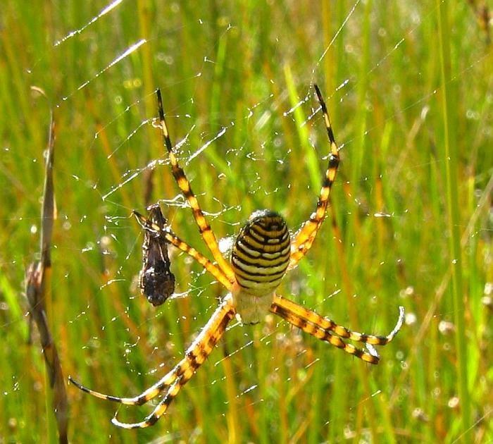 IMAGE(http://1.bp.blogspot.com/_DinU91qVIKA/R-d0jl3RzUI/AAAAAAAAAgg/mAJYrJT5gD4/w1200-h630-p-k-no-nu/Banded+Orb-weaving+Spider++Argiope+trifasciata++IMG_8011AA.JPG)