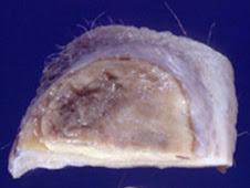 Granuloma subcutáneo (perro)