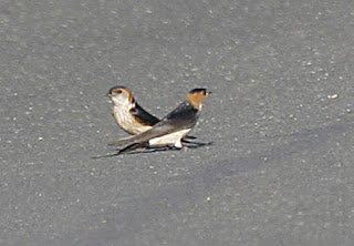 Red-rumped Swallow II