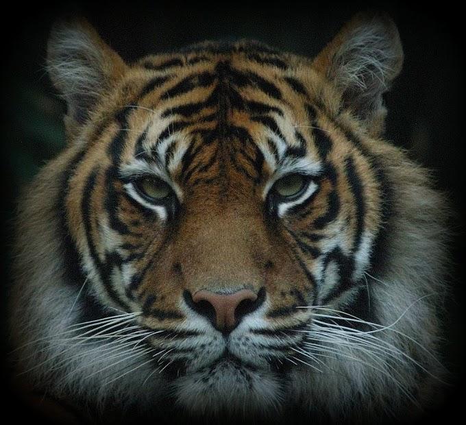 Tigrul in zodiacul chinezesc