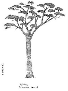 Pencil drawing of a Rain Tree