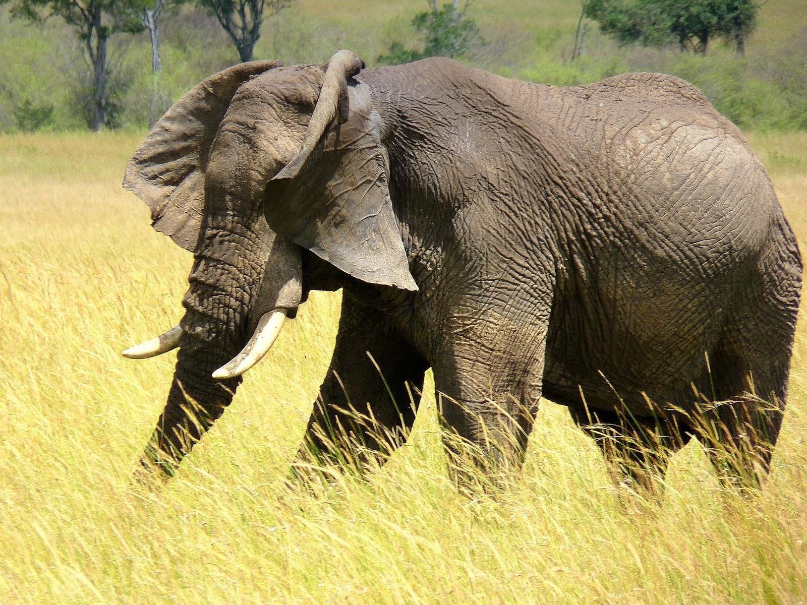 mara fan elefanten elephants tembos. Black Bedroom Furniture Sets. Home Design Ideas