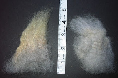 2 samples of clean staples from the same fleece.