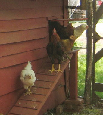 "Me, ""Here chick, chick, chick."" Chickens, "" What's up?"""