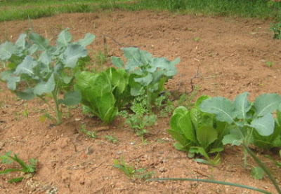 Mixed bed of early salad crops