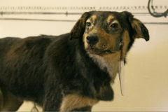 - 240px One of Pavlov 2527s dogs - En enteresan 7 psikolojik çalışma…  - 240px One of Pavlov 2527s dogs - En enteresan 7 psikolojik çalışma…