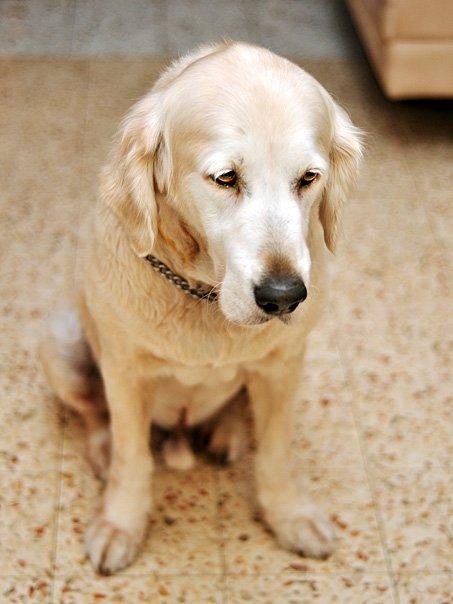 Madamepommcustomorder Golden Retriever And Black Poodle