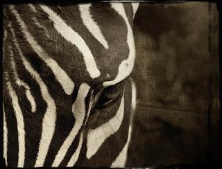 irene suchocki zebra