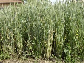 Lisa's Garden: Wheat