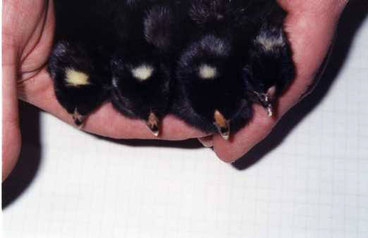 how to sex barred rock chicks