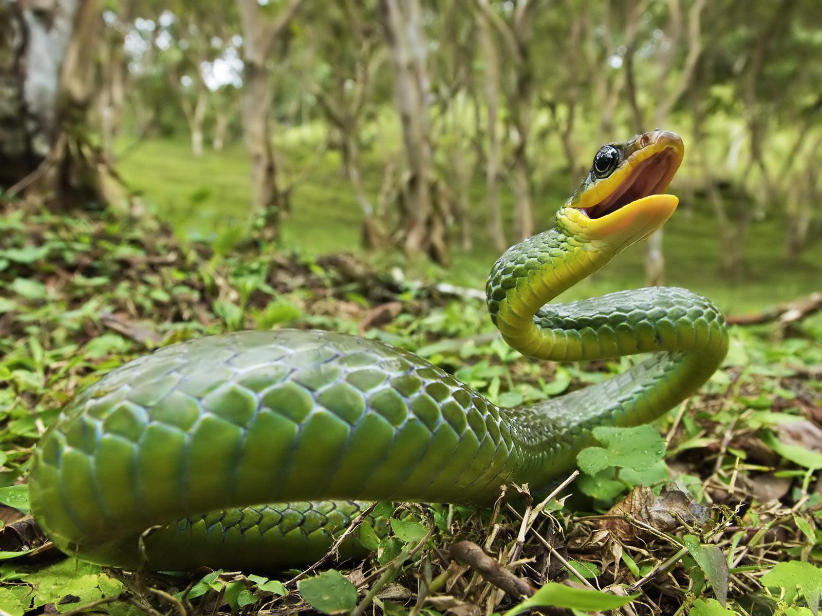 Las serpientes taringa - Green snake hd wallpaper ...