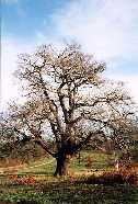 an Oak Tree in Claybury Park