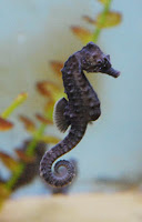 a short-snouted seahorse