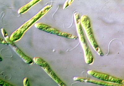 Phylum foraminifera reproduccion asexual de las plantas