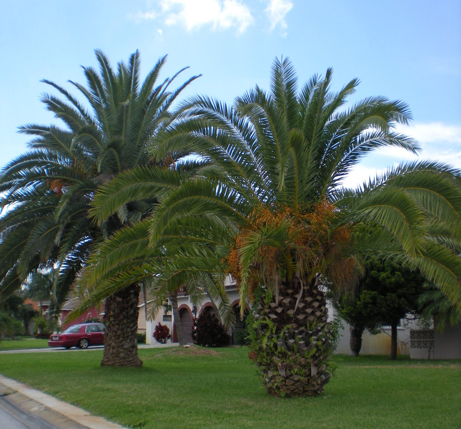 Palm Tree Island: Palm Tree Species: Canary Island Palm