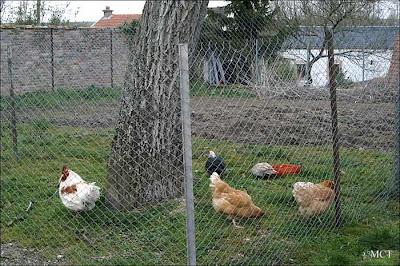 canards, coq et poules