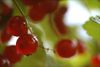 Groseilles rouges