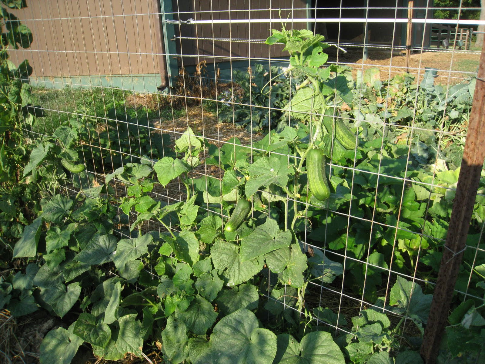Image result for Cucumbers trellis