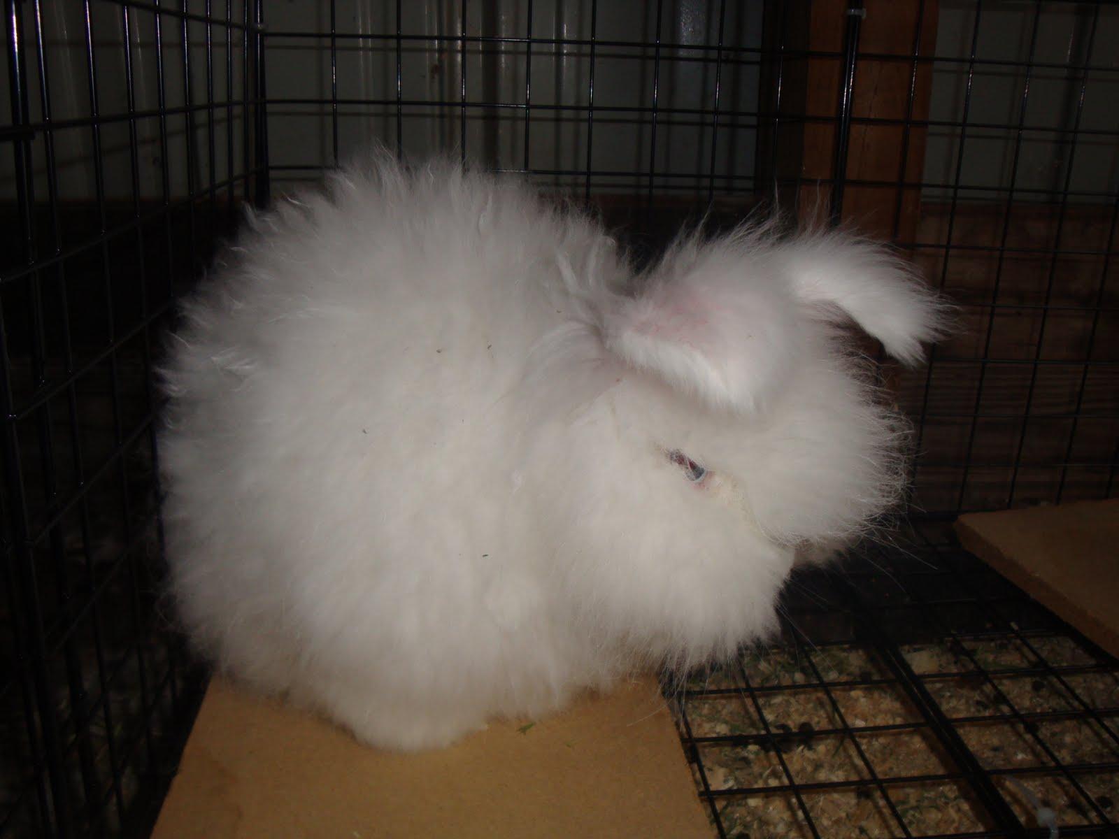 english angora rabbits - photo #9