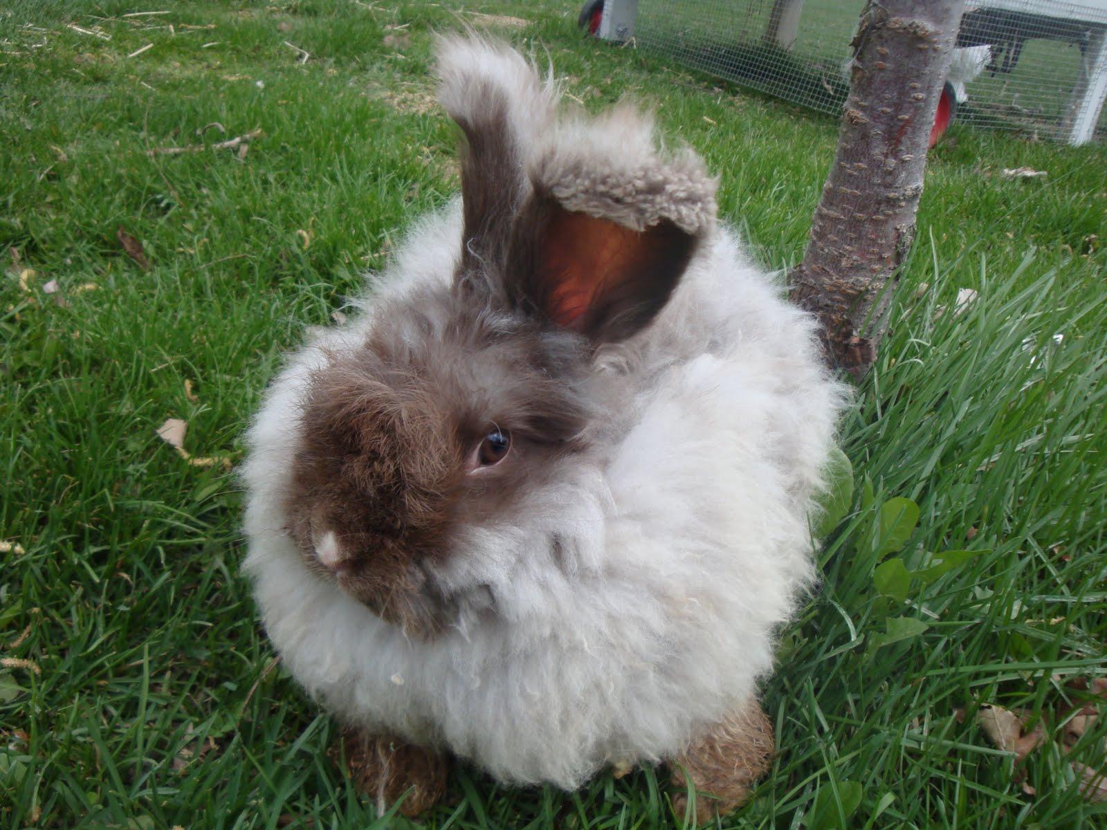 english angora rabbits - photo #28