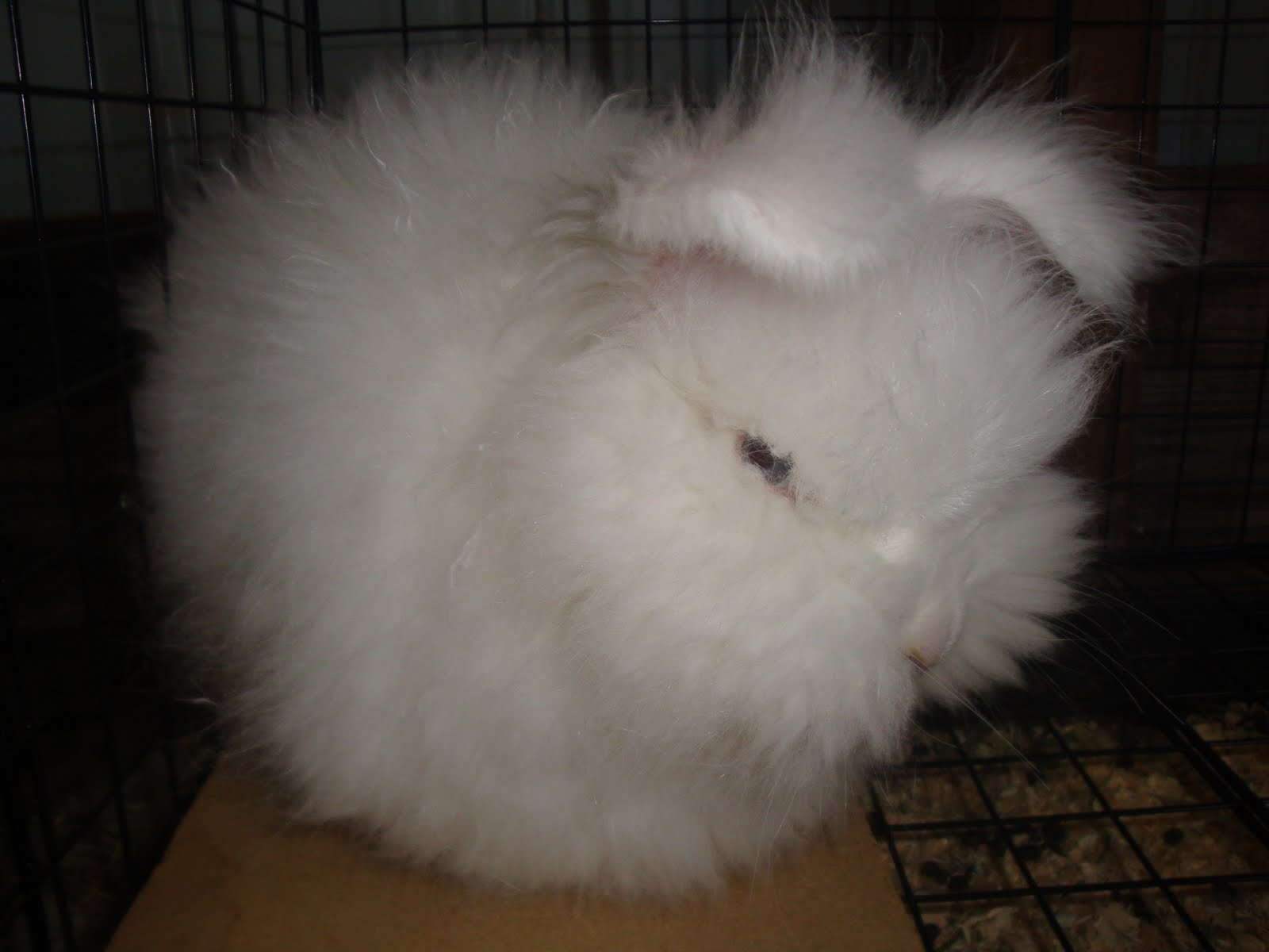 english angora rabbits - photo #30