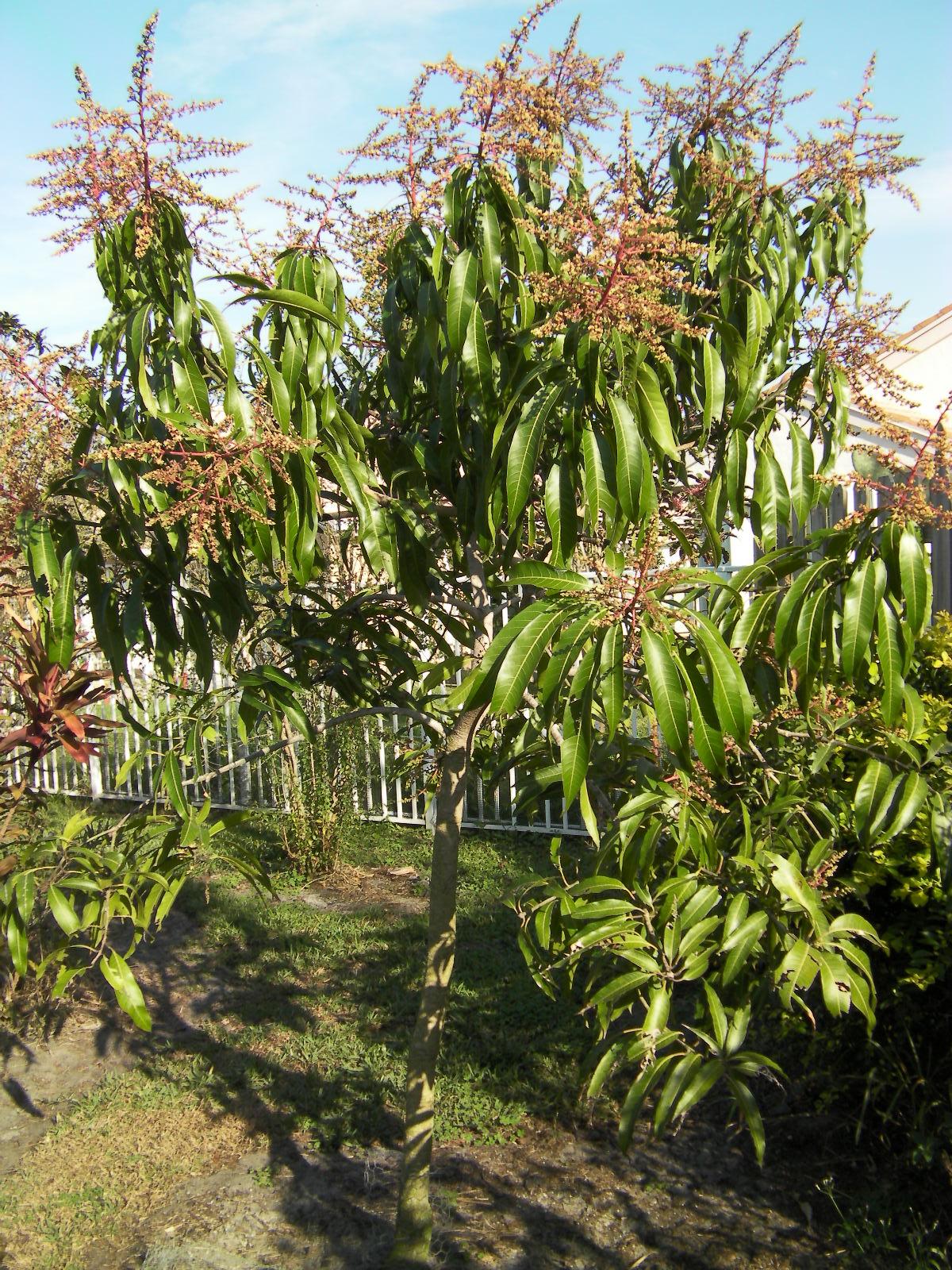 The Budget Gardener Mango Trees In Bloom Everywhere