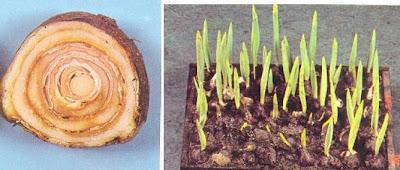 Foto%C4%9Fraf+3.4+Rhizoctonia+tuliparum+hastal%C4%B1%C4%9F%C4%B1