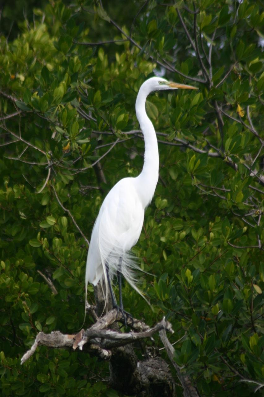 Kalamazoo Seasons: Great White Egret