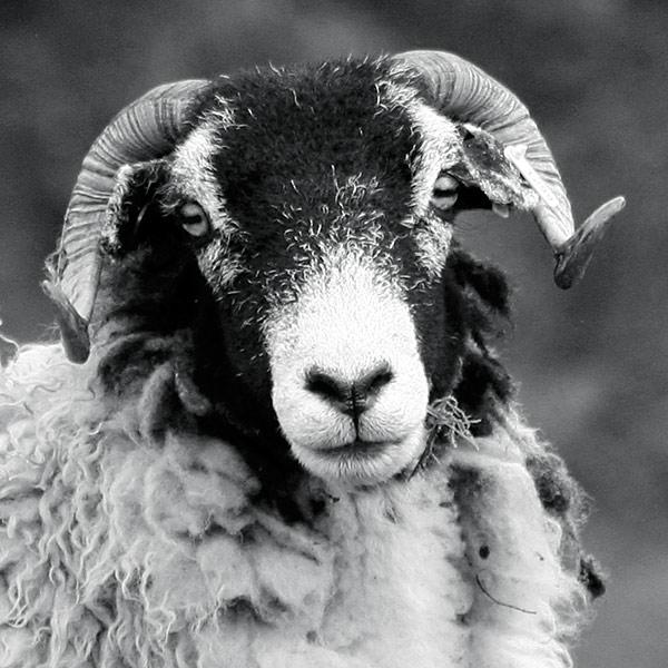 Things Is Cool: Sheep Breed: Swaledale