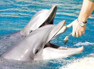 What do dolphins eat - dolphin wallpapers 4