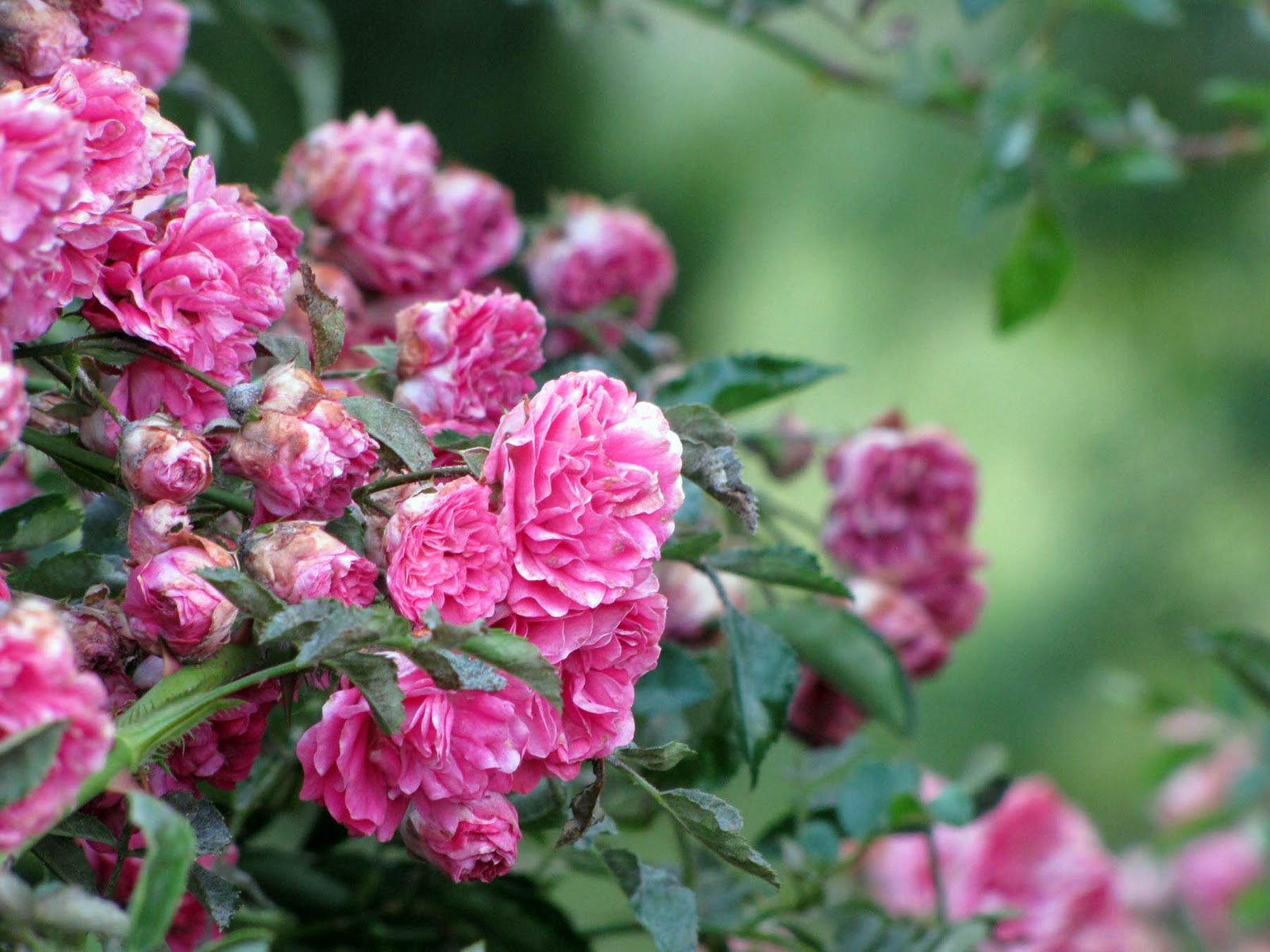 Rose: Simply This: Rose Hedge