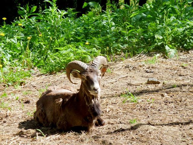 Cabra montesa en la reserva de Basondo