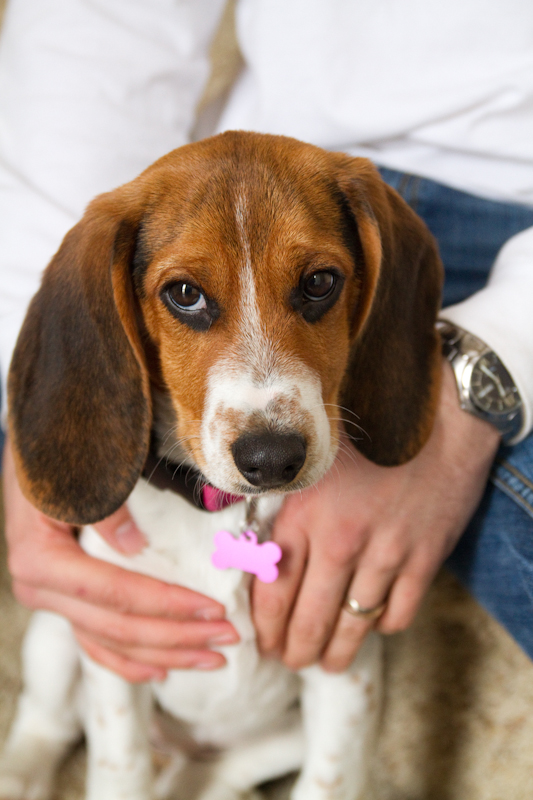 Windy City Canine Rescue: Willow {Beagle Cross}