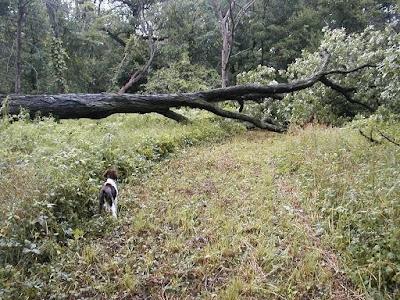 Fallen Hickory