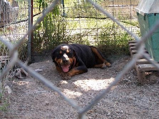 One of the Pontotoc Rottweilers