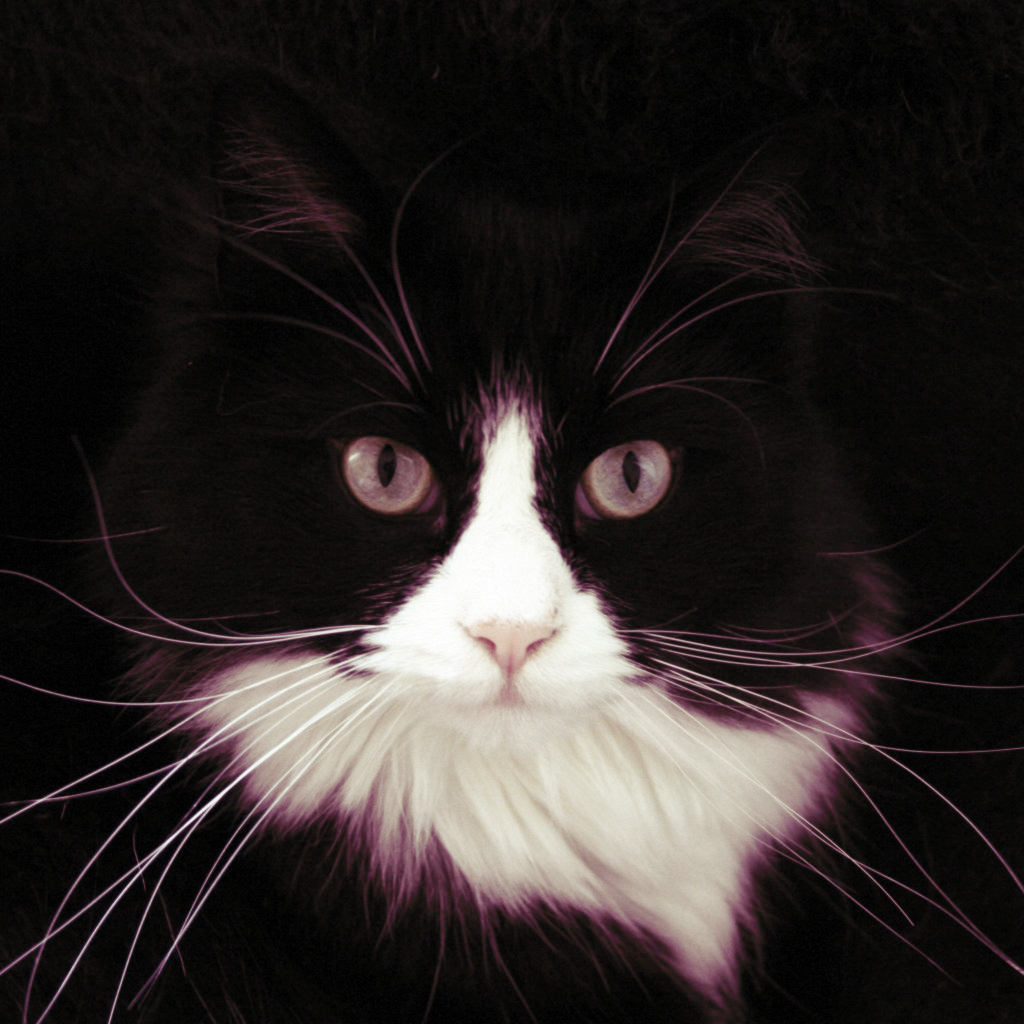 [tuxedo+cat]